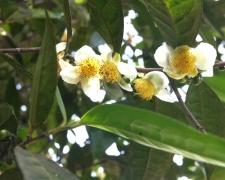 Vẻ đẹp của hoa trà