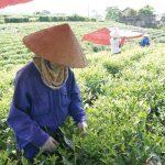 Xuất khẩu trà Việt Nam năm 2020